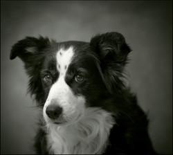 video portraits dog swan hill