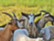 goat-goats-generic_16d2619227d_large.jpg