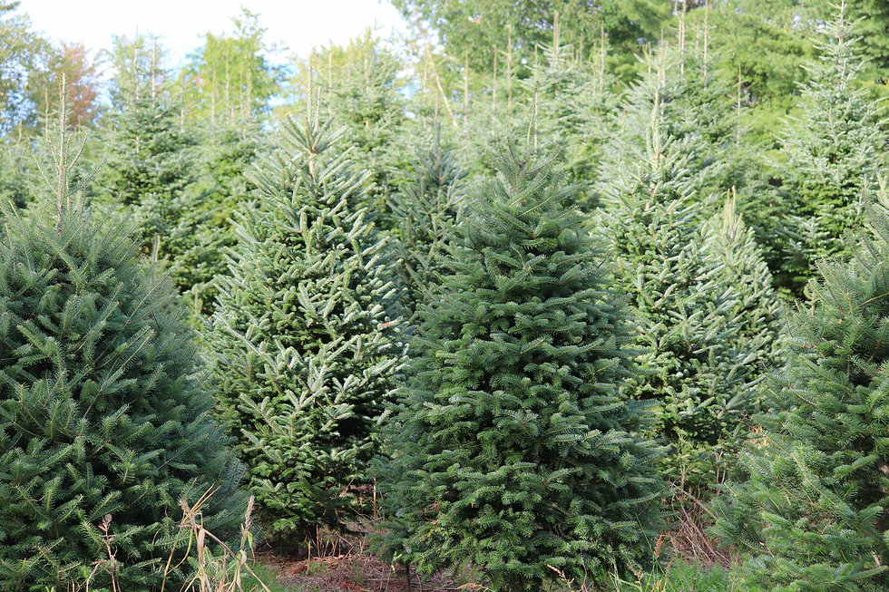 Christmas trees growing in a grassy field.