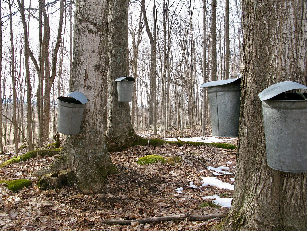 Maple trees in a forest with galvanized buckets hanging from them.
