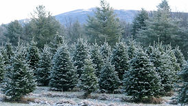 Christmas trees growing in a field with frost on them.