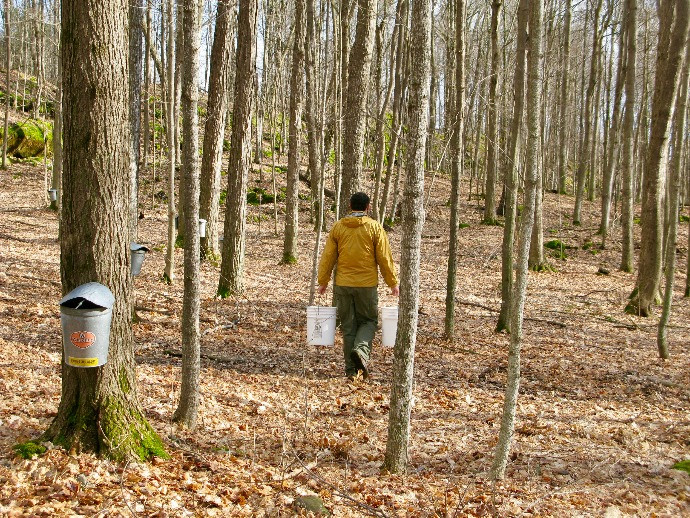 Sap buckets hang on trees. A man wearing a yellow coat carries two five gallon buckets of sap.
