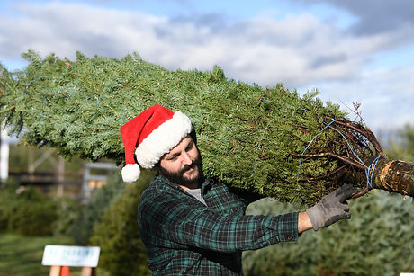 Man wearing santa hat and flannel shirt carries a Christmas tree on his shoulder.