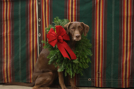 Brown dog wearing a wreath with red bow around her neck.