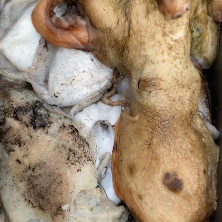 Seppie, calamari e polpi in autunno