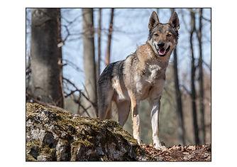 Wolfshund.jpg