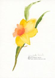 Daffy for Spring - Daffodils