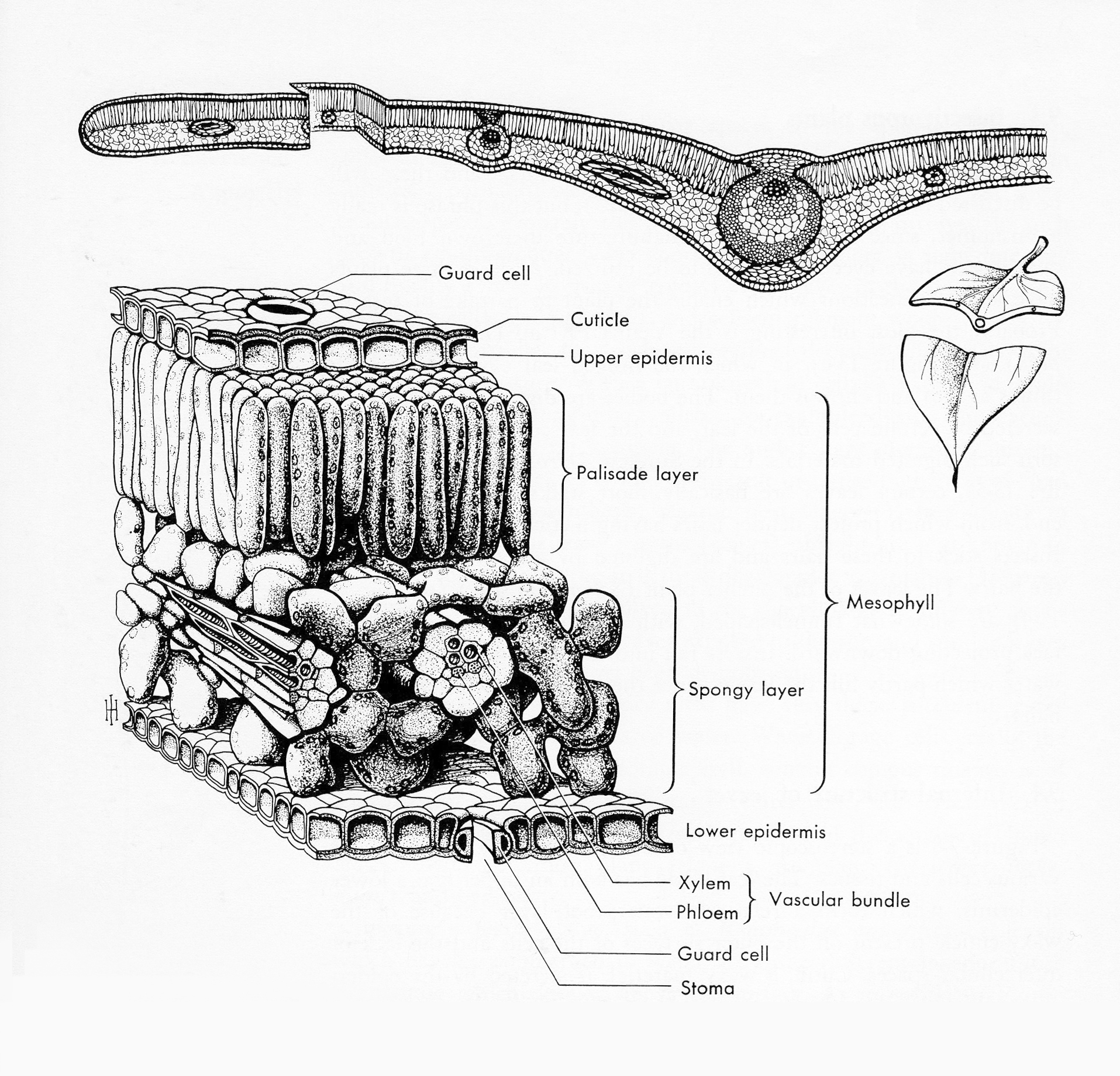 Cut-Away Drawing of Root