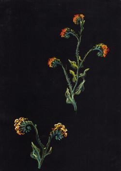 Fiddlenecks (Amsinckia sp.)