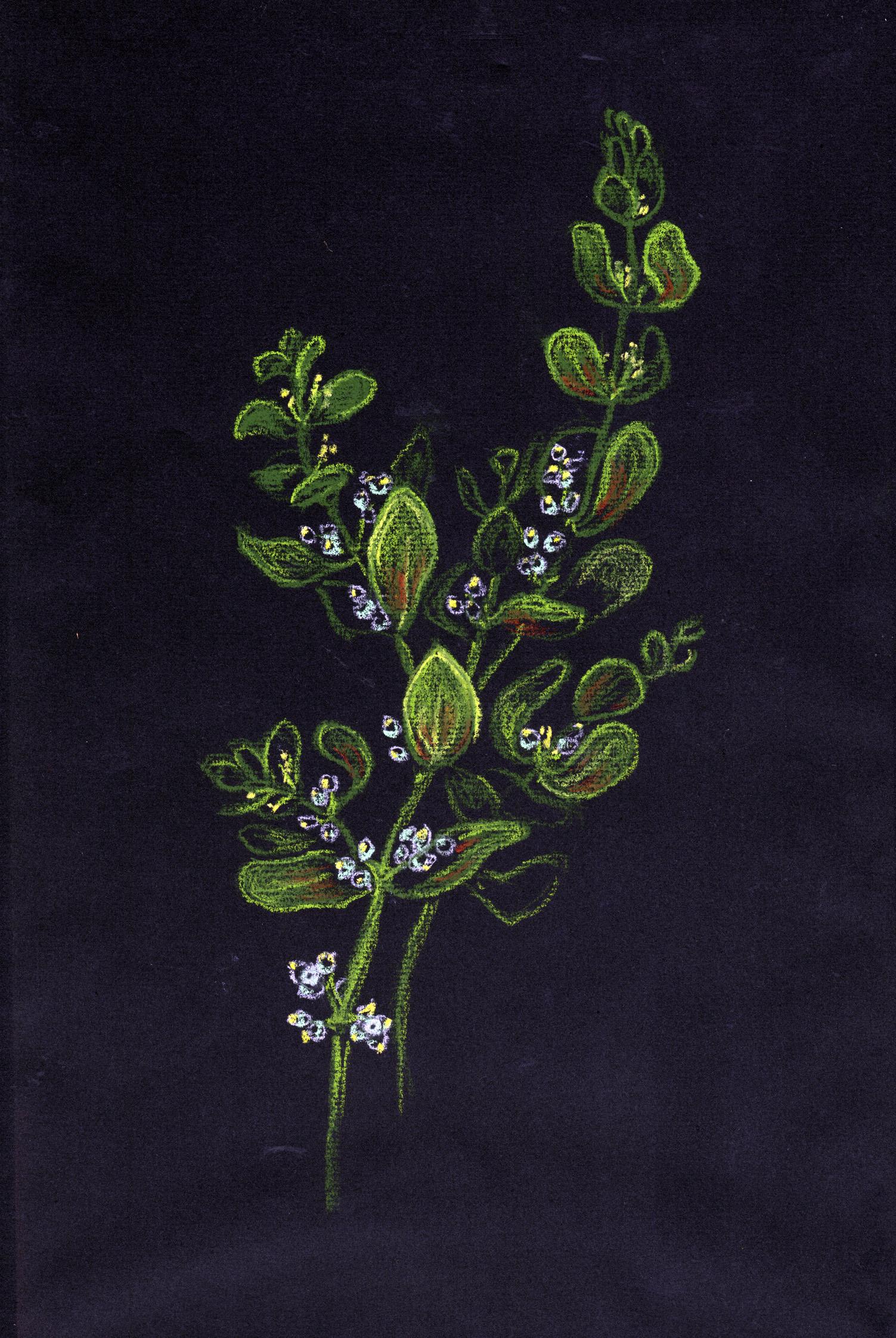 Bigleaf Mistletoe (Phorodendron sp.)