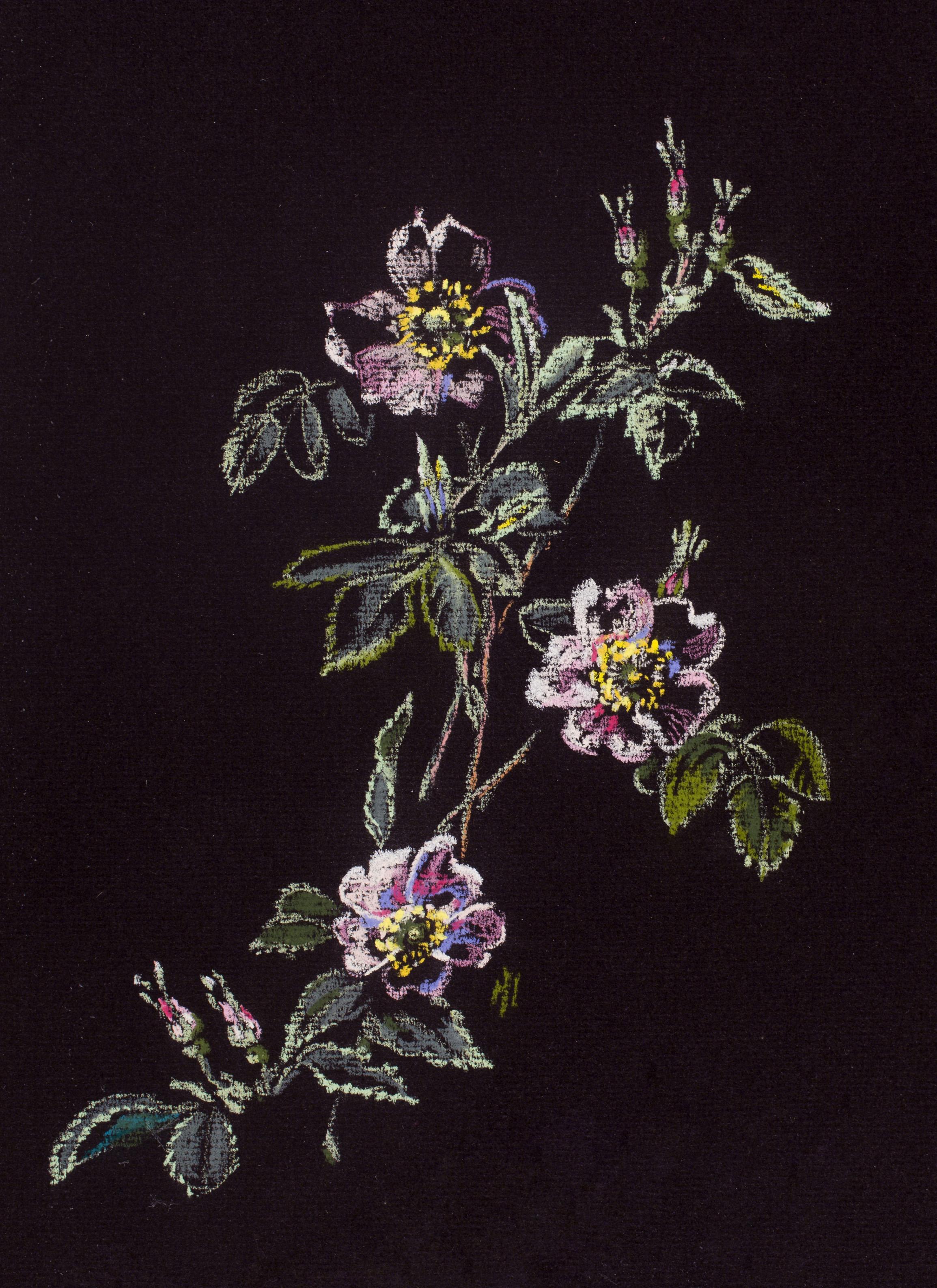 Wild Rose (Rosa californica)