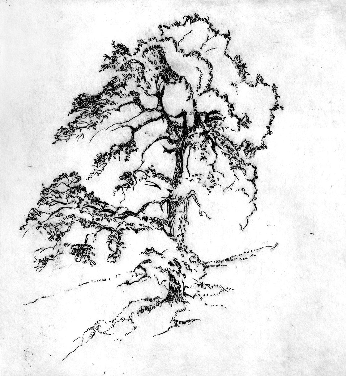 Oak, Mother Lode