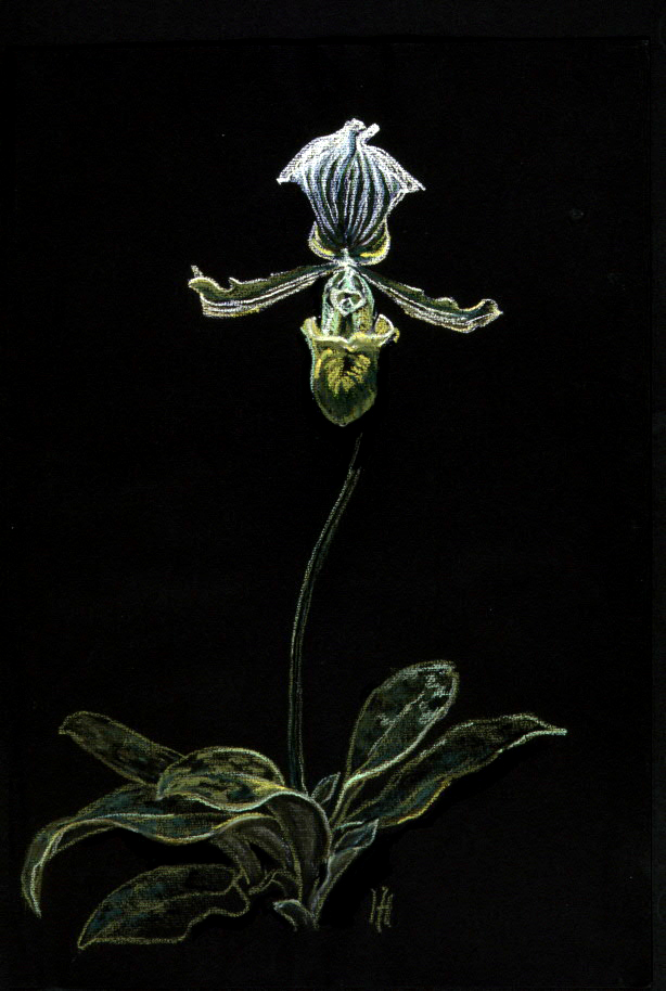 (Lady Slipper) Orchid