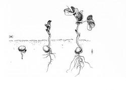 Seedling Development Drawing