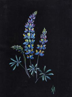 Lupinus sp.