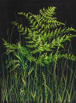 W.Bracken Fern (Pteridium aquilinum)