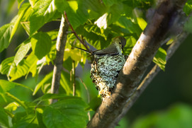 Gnatcatcher's Nest