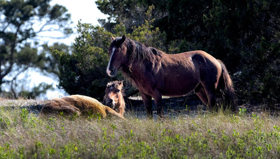 Feral (Wild) Horses.jpg