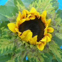 SunflowerDMfl.jpg