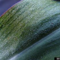 Peronosclerospora sorghi