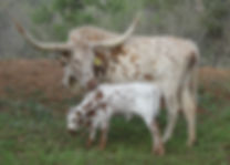 Located in Central Texas outside of Austin, our Longhorn Heifers produce muscular calves that show well.
