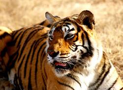 tiger-1634324