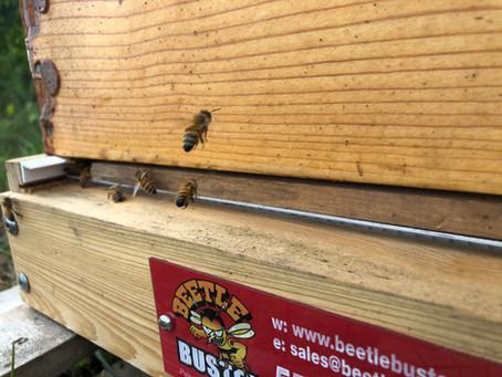 UGH! Slimed Again! Small Hive Beetles (SHB)