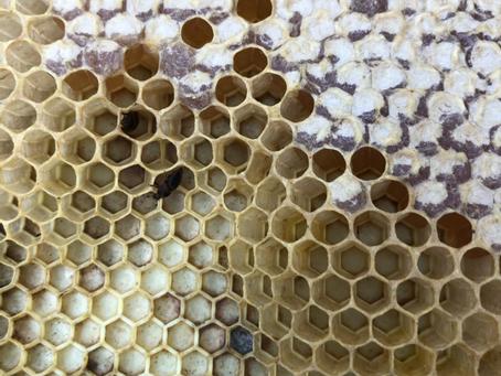 SHB (Small Hive Beetle) myths