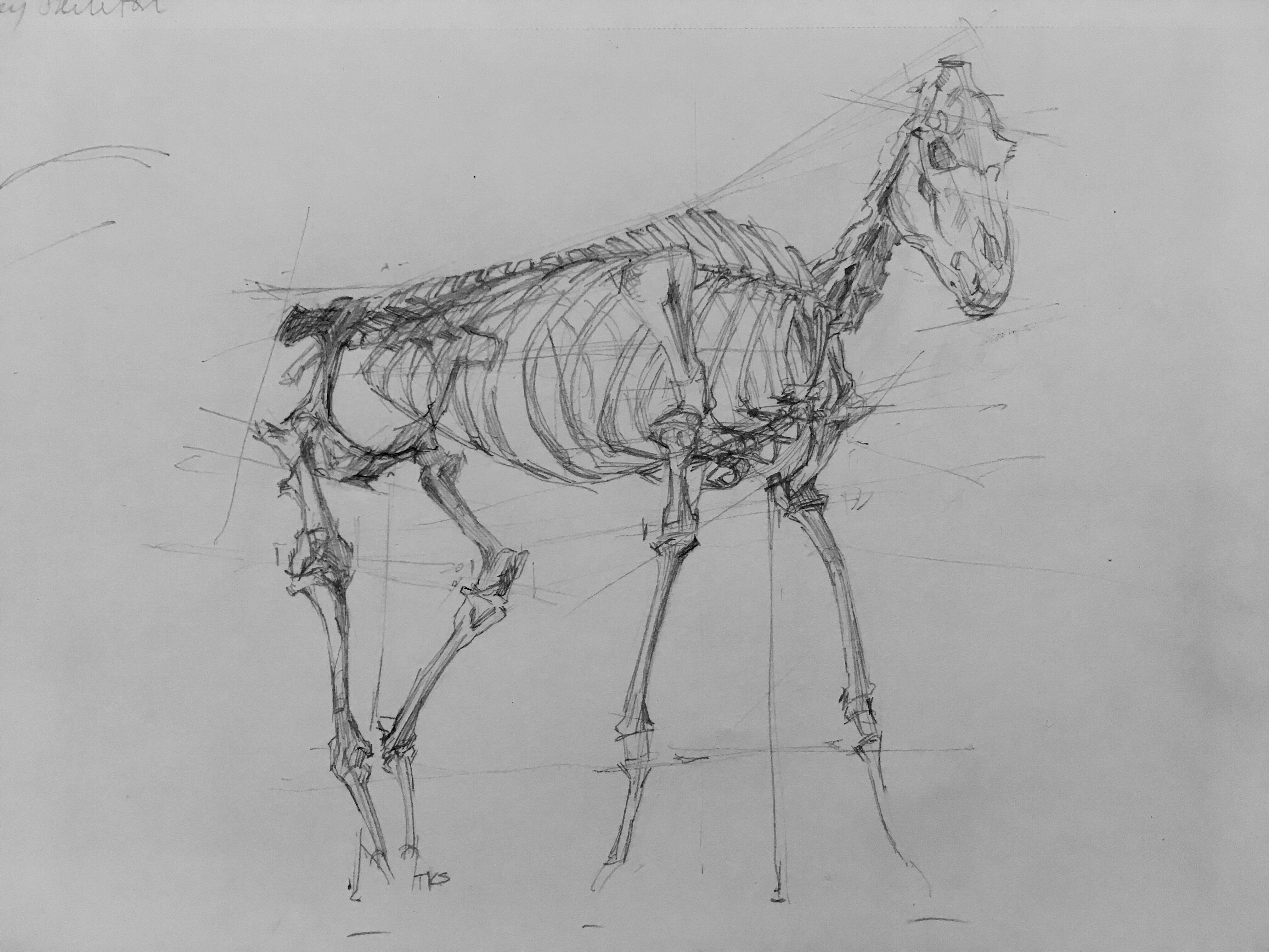 Skeleton of Donkey