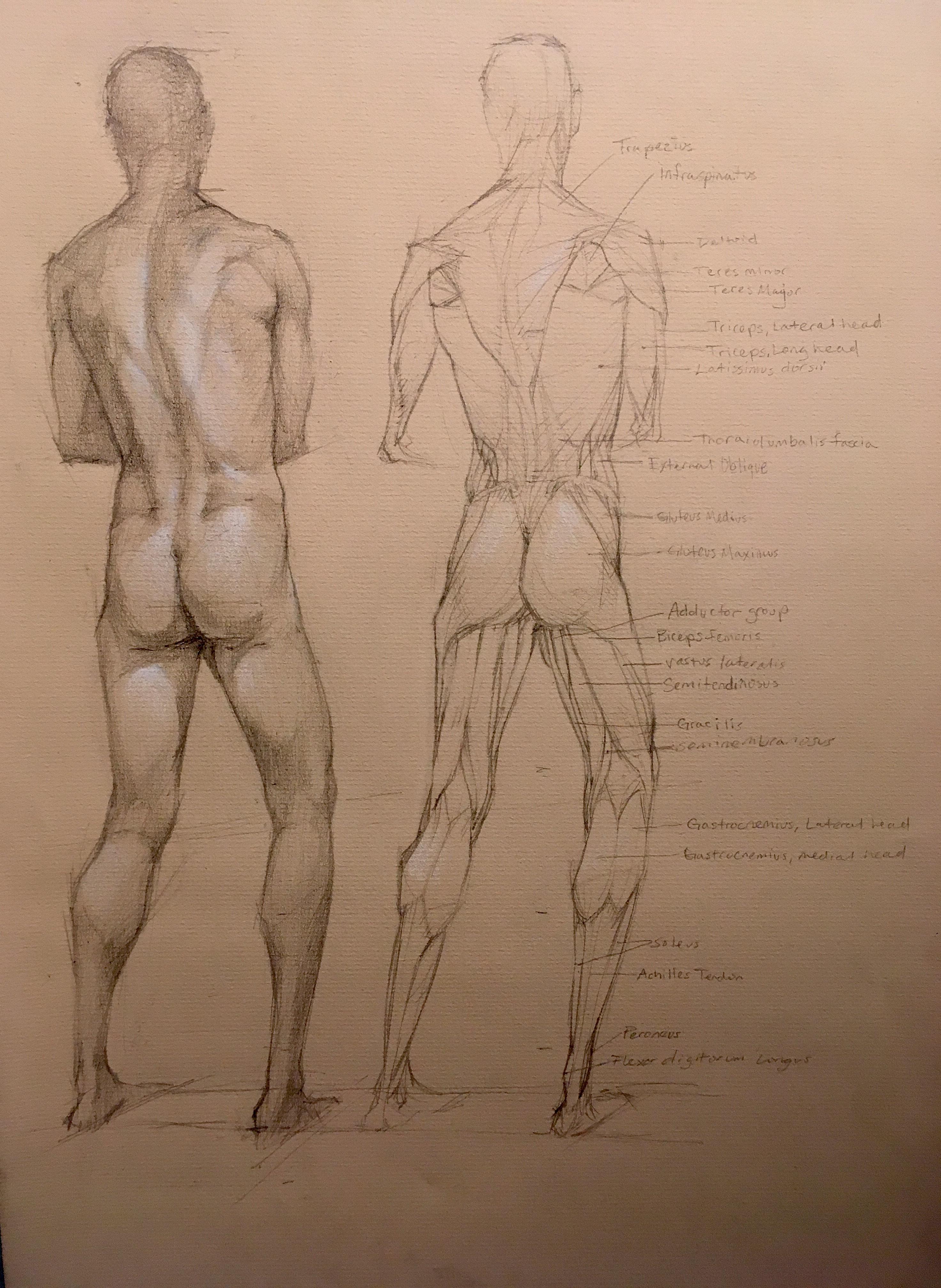 Male Anatomy Study (Back View)