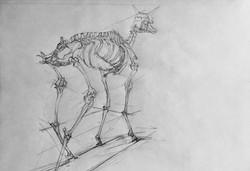 Skeleton of Antelope