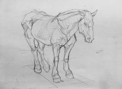 Draft Horse Study