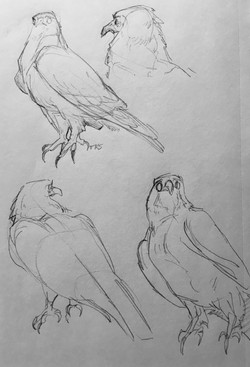 Red Tailed Hawk Studies