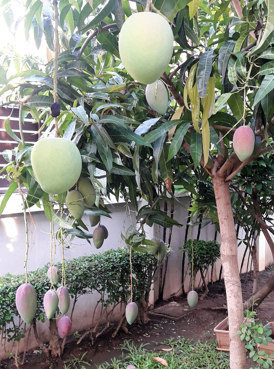 It's Mango Time!