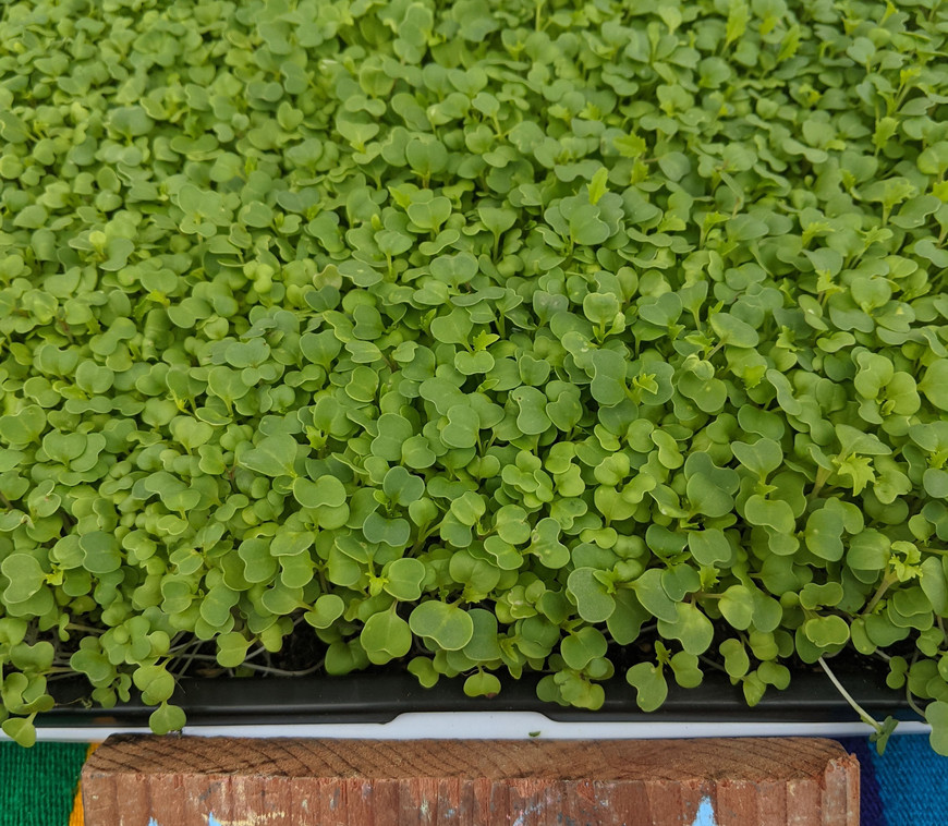 Mustard Green Sprouts