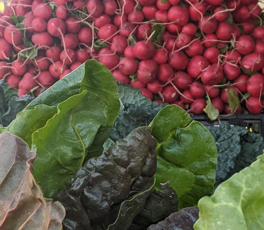 Radishes & Lettuce
