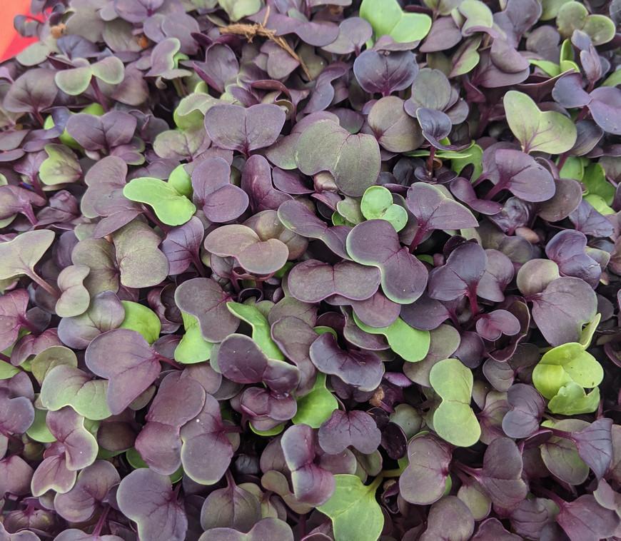 Purple Radish Sprouts