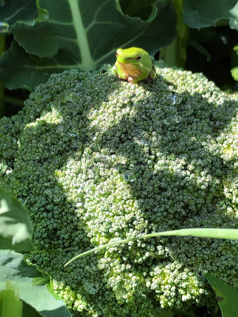 A green frog sits on a head of broccoli