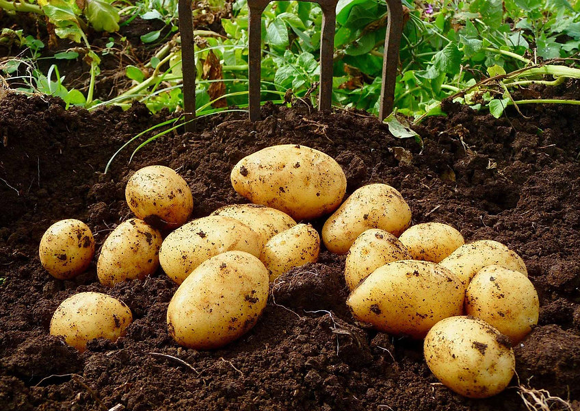 freshly-dug organic potatoes