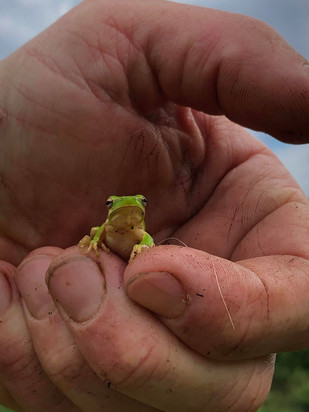 A tiny green frog
