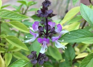 Tulsi - The Queen of Herbs