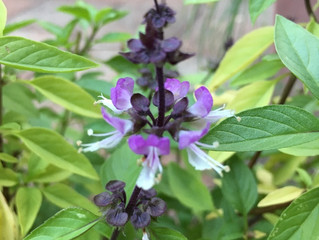 Tulsi - The Queen of Herbs