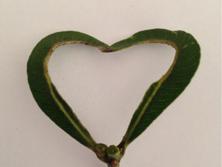 The Heart Leaf – another glorious creation by Nature