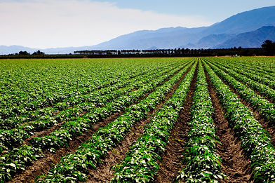 crop in field with blue mountain in back