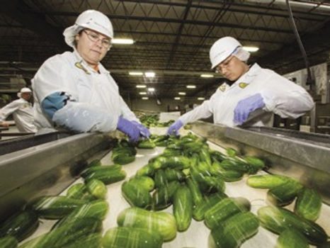 Cucumbers on inspection belk with workers