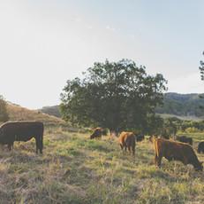 cow4.jpg