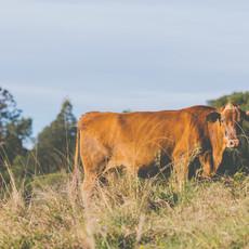 cow6.jpg