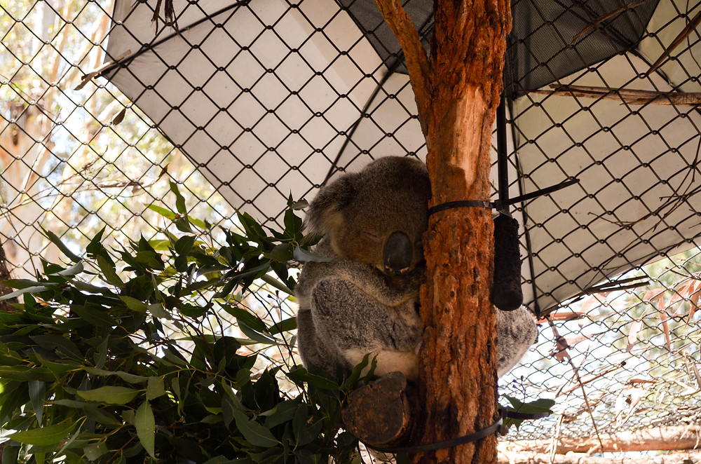 Our first glimpse of a real life cuddly Koala.