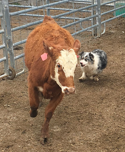 Bannock calves 3 (2).jpg