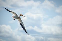 Pelican 2015